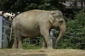 Juno Asian Elephant